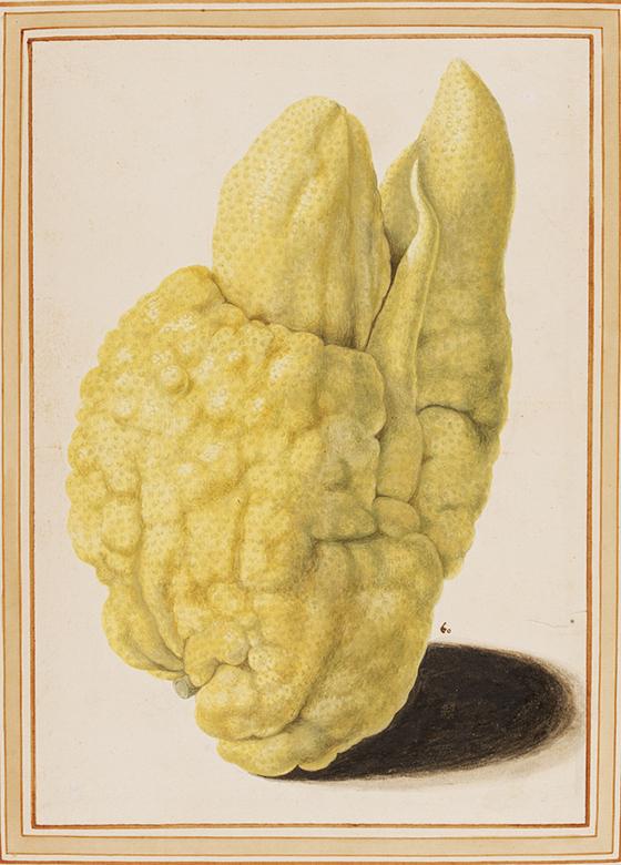 Vincenzo Leonardi (activo entre 1621 y 1646), cidra (Citrus medica), acuarela.